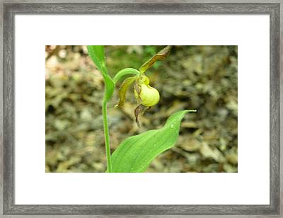 Framed Print featuring the photograph Yellow Lady-slipper by Linda Geiger