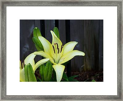 Yellow Lilly Framed Print
