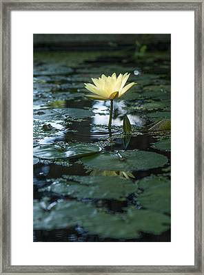 Yellow Lilly Tranquility Framed Print