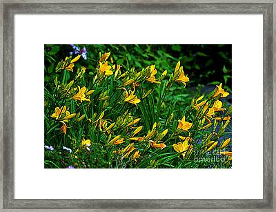 Yellow Lily Flowers Framed Print by Susanne Van Hulst