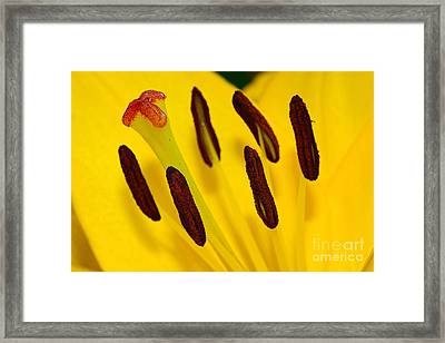 Yellow Lily Stigma And Stamens By Kaye Menner Framed Print by Kaye Menner