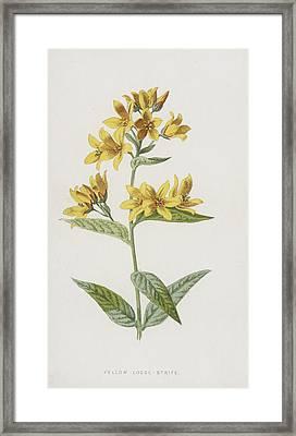 Yellow Loose-strife  Framed Print by Frederick Edward Hulme