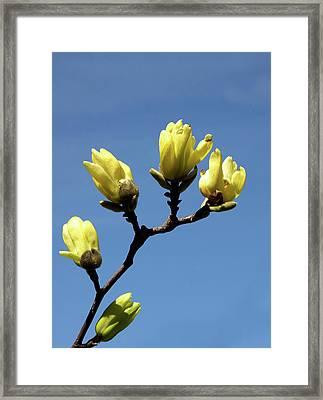 Yellow Magnolia Framed Print
