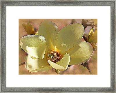 Yellow Magnolia In Full Bloom Framed Print