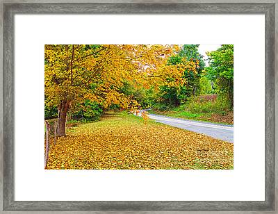 Yellow Maple By The Side Of The Road - Warm Springs Va Virginia Framed Print