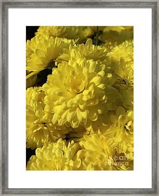 Yellow Mums Framed Print