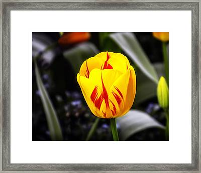 Yellow-n-red Tulip Framed Print