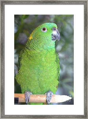 Framed Print featuring the photograph Yellow-naped Amazon by Debbie Stahre