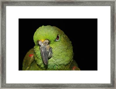 Yellow-naped Amazon Parrot Framed Print