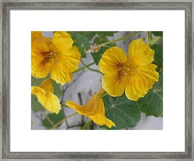 Yellow Nasturtium Framed Print