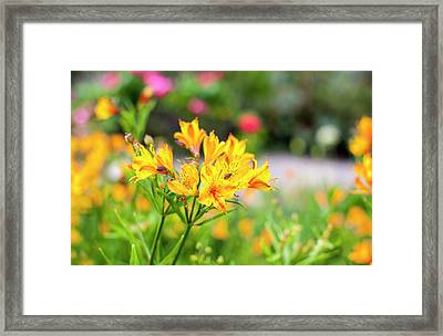 Yellow Framed Print by Niel Morley