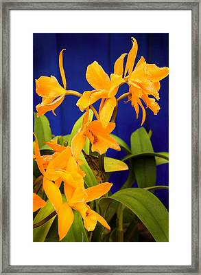 yellow Orange Orchids Framed Print by Stephen Mack