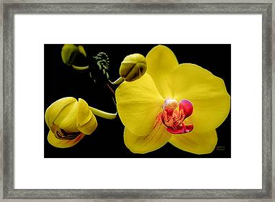 Yellow Orchid And Buds Framed Print by Julie Palencia