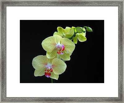 Yellow Orchidee Framed Print