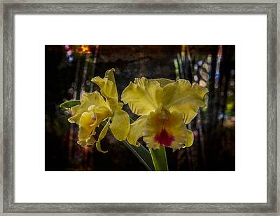 Yellow Orchids Framed Print by Debra and Dave Vanderlaan