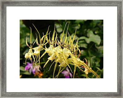 Yellow Orchid.singapore. Framed Print