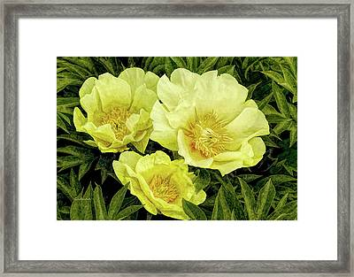 Yellow Peonies Framed Print
