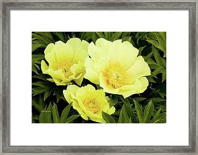Yellow Peonies In Full Bloom Framed Print