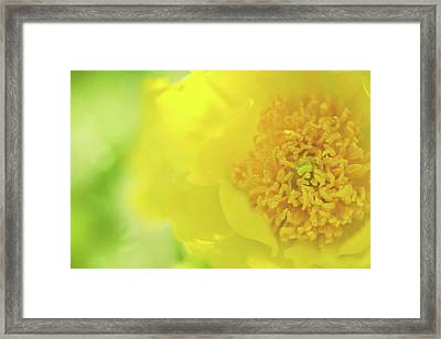 Yellow Peony Framed Print by Margaret Goodwin