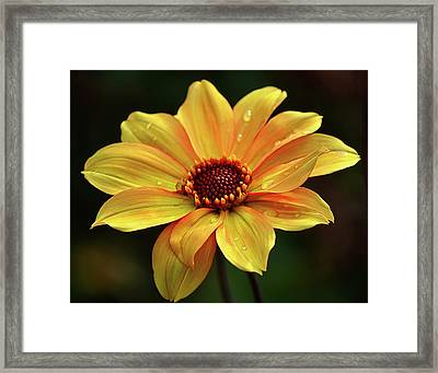 Framed Print featuring the photograph Yellow Petals And Drops by Julie Palencia