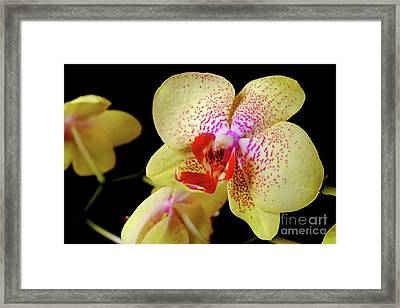 Framed Print featuring the photograph Yellow Phalaenopsis Orchid by Dariusz Gudowicz