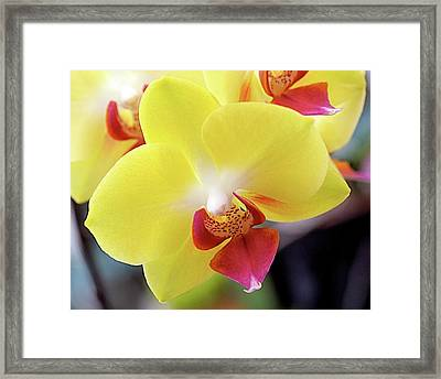 Yellow Phalaenopsis Orchids Framed Print