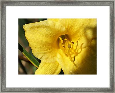 Yellow Pistols Framed Print by Debbie May