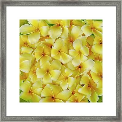 Yellow Plumerias Framed Print