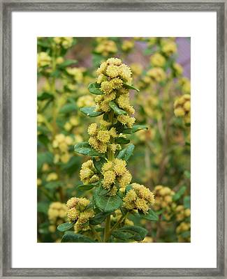 Yellow Pom Poms Framed Print