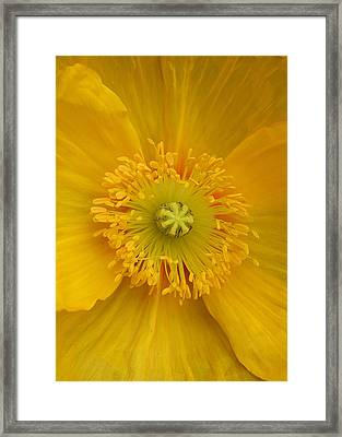 Yellow Poppy Flower Center Framed Print