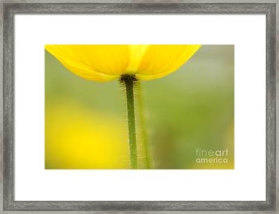 Yellow Poppy Framed Print by Silke Magino