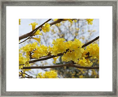 Yellow Poui In Bloom Framed Print by Peter Hanoomansingh