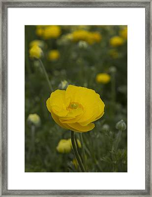 Yellow Ranunculus Flowers Framed Print