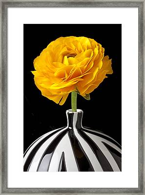 Yellow Ranunculus In Striped Vase Framed Print by Garry Gay