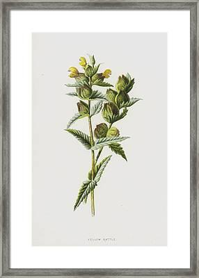 Yellow Rattle Framed Print