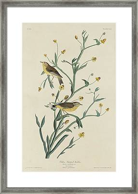Yellow Red-poll Warbler Framed Print