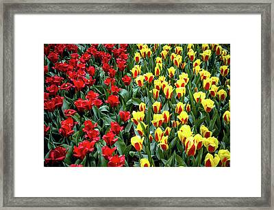 Yellow-red Tulip Carpet Framed Print by Jenny Rainbow
