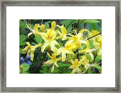 Yellow Rhododendron Framed Print by Carla Parris