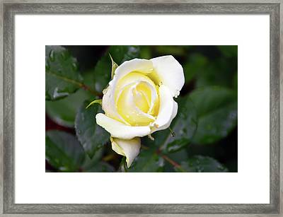 Yellow Rose 1 Framed Print