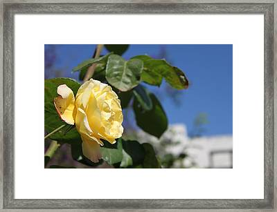 Yellow Rose 2 Framed Print by Remegio Onia