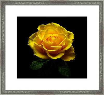 Yellow Rose 4 Framed Print