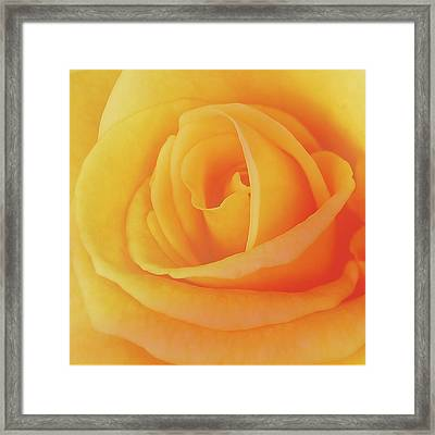 Yellow Rose 4788 Framed Print by Michael Peychich