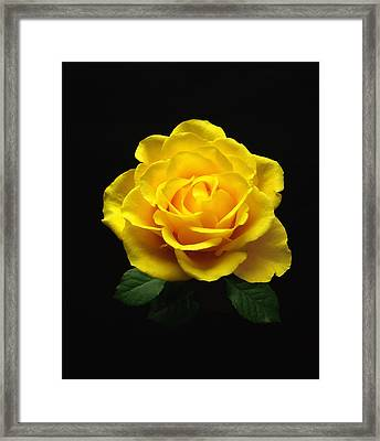 Yellow Rose 6 Framed Print