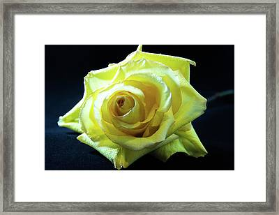 Yellow Rose-7 Framed Print