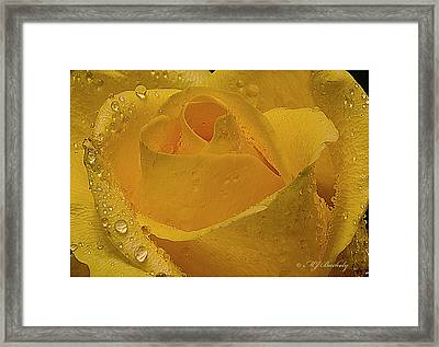 Yellow Rose And Dew Framed Print by Marti Buckely