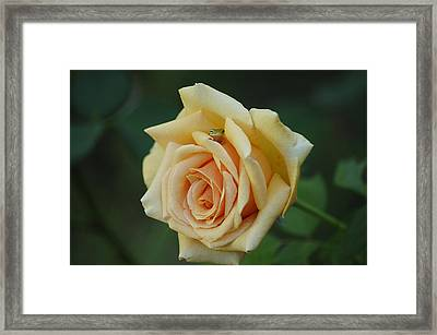 Yellow Rose And Frog Framed Print