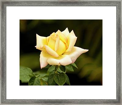 Framed Print featuring the photograph Yellow Rose by Bill Barber