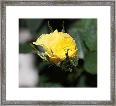 Yellow Rose Bud Framed Print by Evelyn Patrick