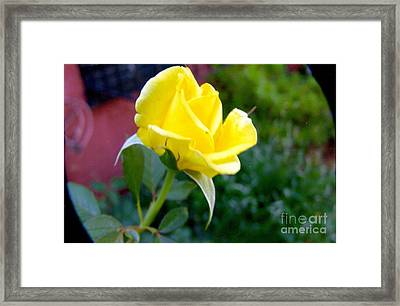 Yellow Rose Bud Framed Print by Rod Ismay