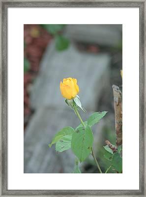 Yellow Rose Bud Framed Print by ShadowWalker RavenEyes Dibler